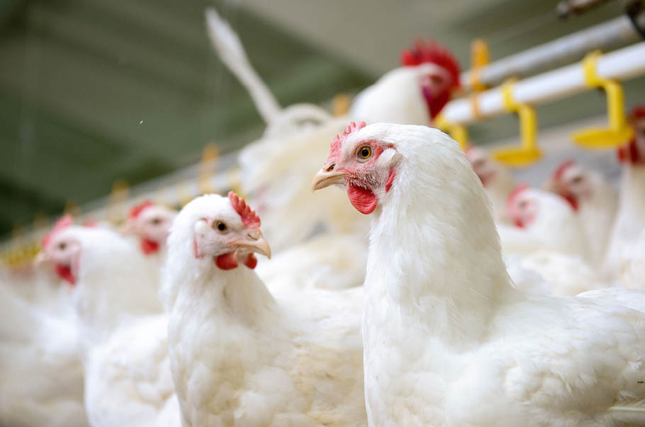 Polscy eksporterzy drobiu liczą na pomoc europejskiej gastronomii