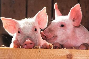 Potwierdzony przypadek ASF w Niemczech może znacząco oddziaływać na rynek wieprzowiny w Polsce
