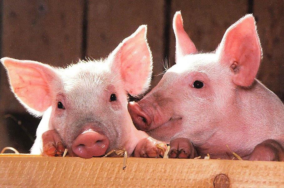 Stanowisko POLPIG w sprawie ustawy o ochronie zwierząt