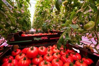 VegaPOL-Budyta rozszerza uprawę pomidora malinowego z zastosowaniem technologii Philips LED do 5 ha!