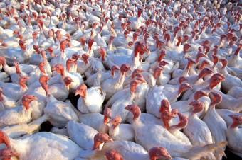 Grypa ptaków powoduje wielomiliardowe straty w branży drobiarskiej