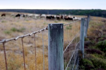 Beef producers in trouble